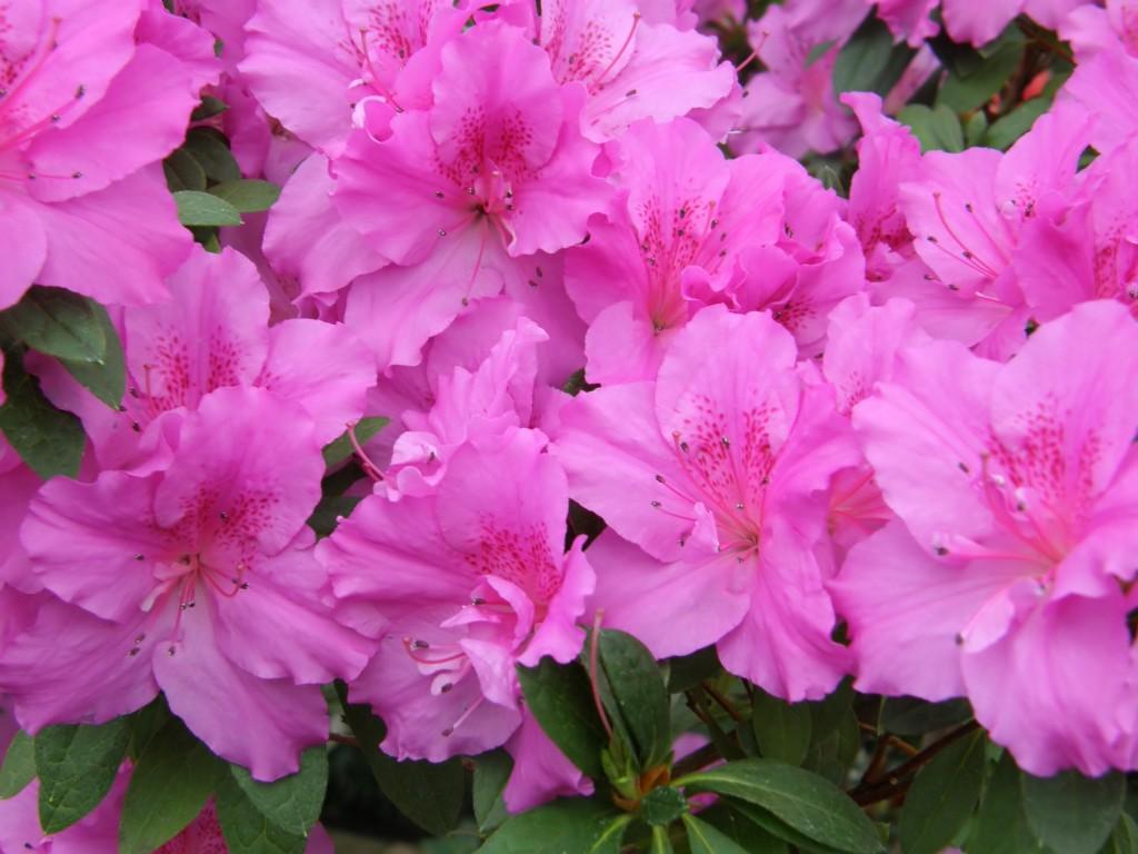 flower of an azalea. Rhododendron