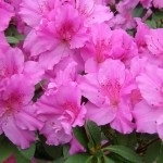 flower of an azalea. Rhododendron